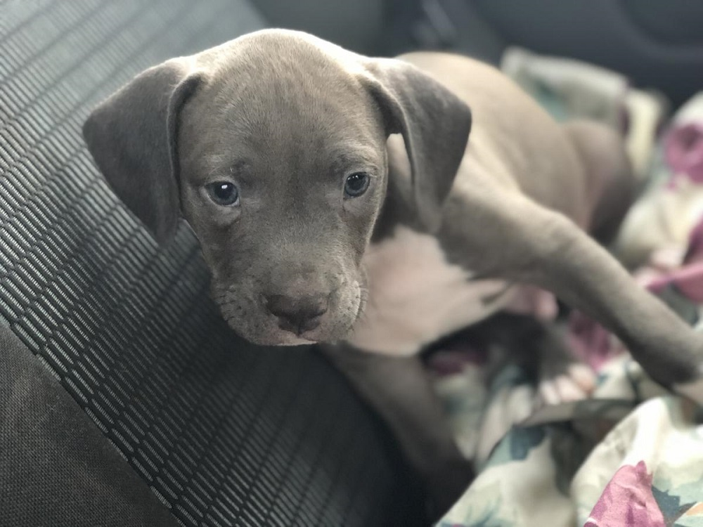 blue nose pitbull puppies for free how to get for free